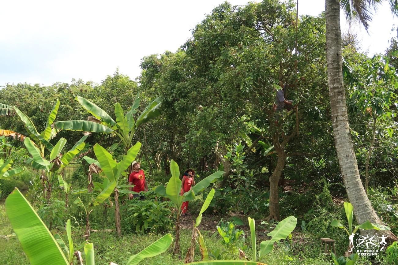 Raccolta noci di Cocco sul Delta del Mekong