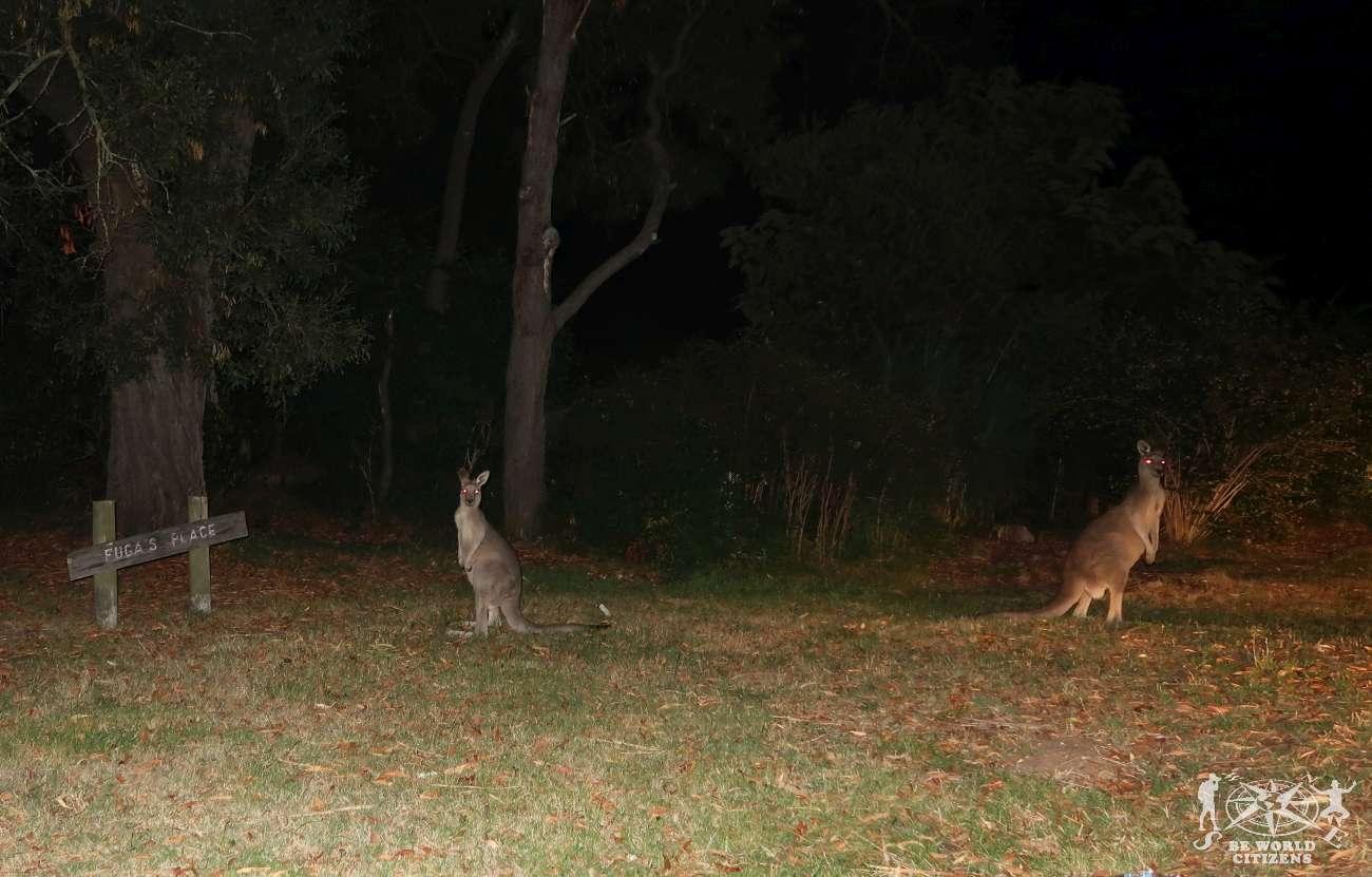 Grampians NP: Kangaroos