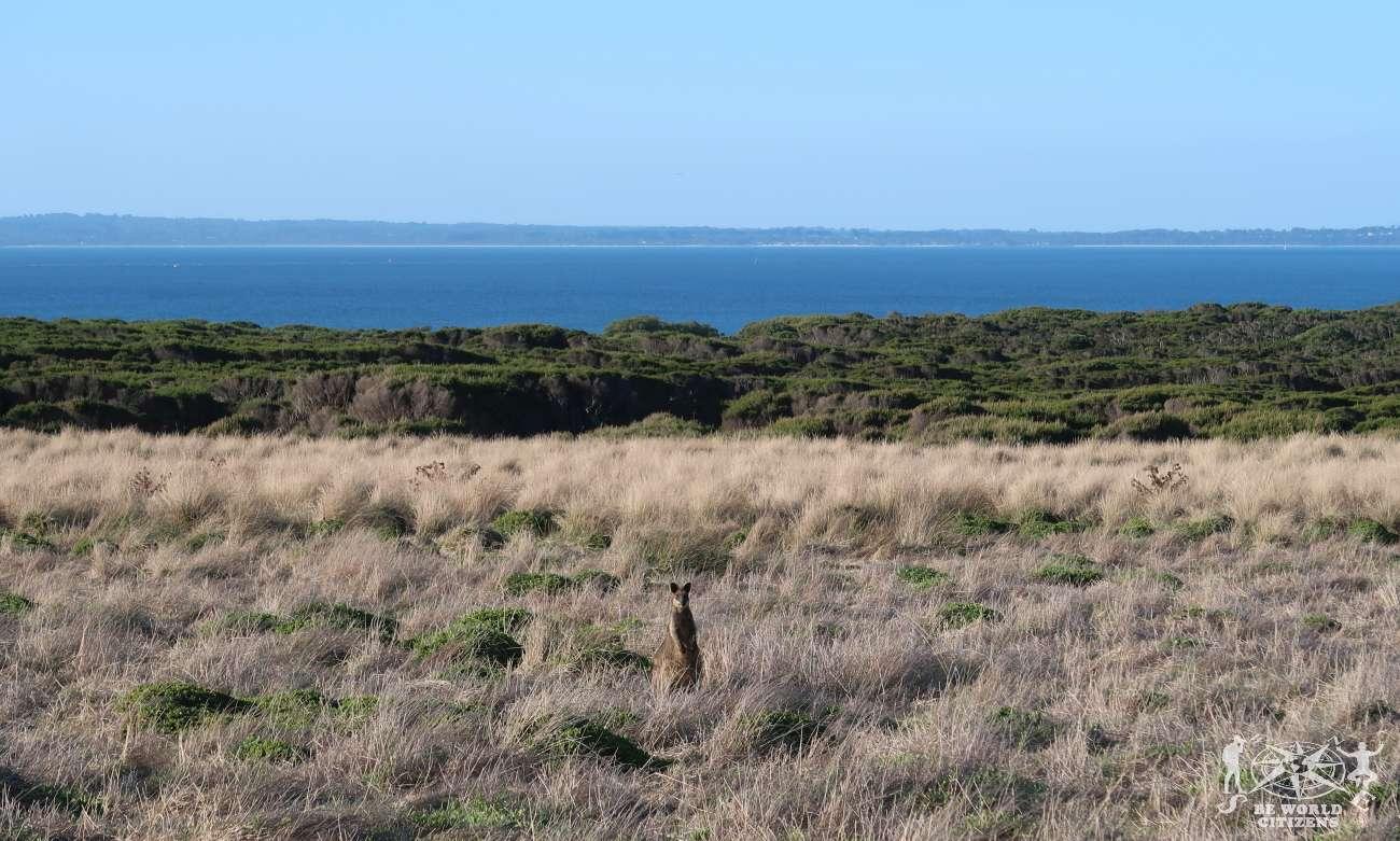 Australia: Phillip Island - Canguri