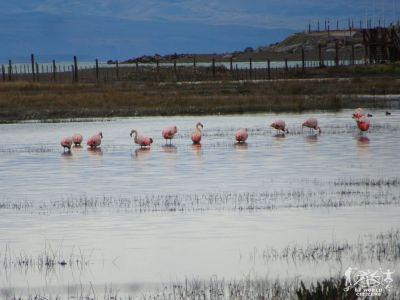 Argentina: El Calafate - Fenicotteri