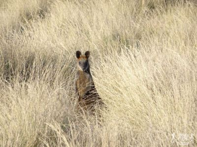 Australia: Phillip Island - Canguro