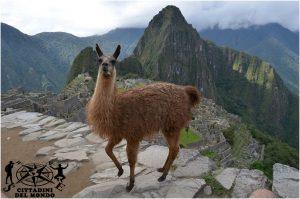 Machu Picchu - Lama in posa