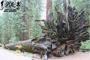 Yosemite - Sequoia caduta