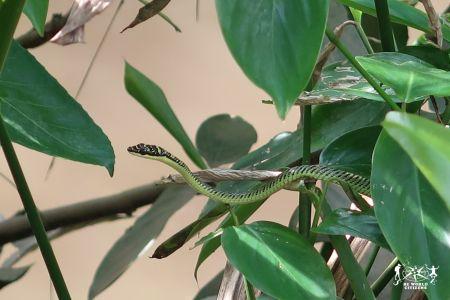 Serpentello sul Delta del Mekong