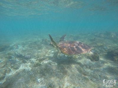 Isola di Pasqua: Tartaruga Marina