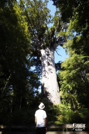 New Zealand: Kauri Forest